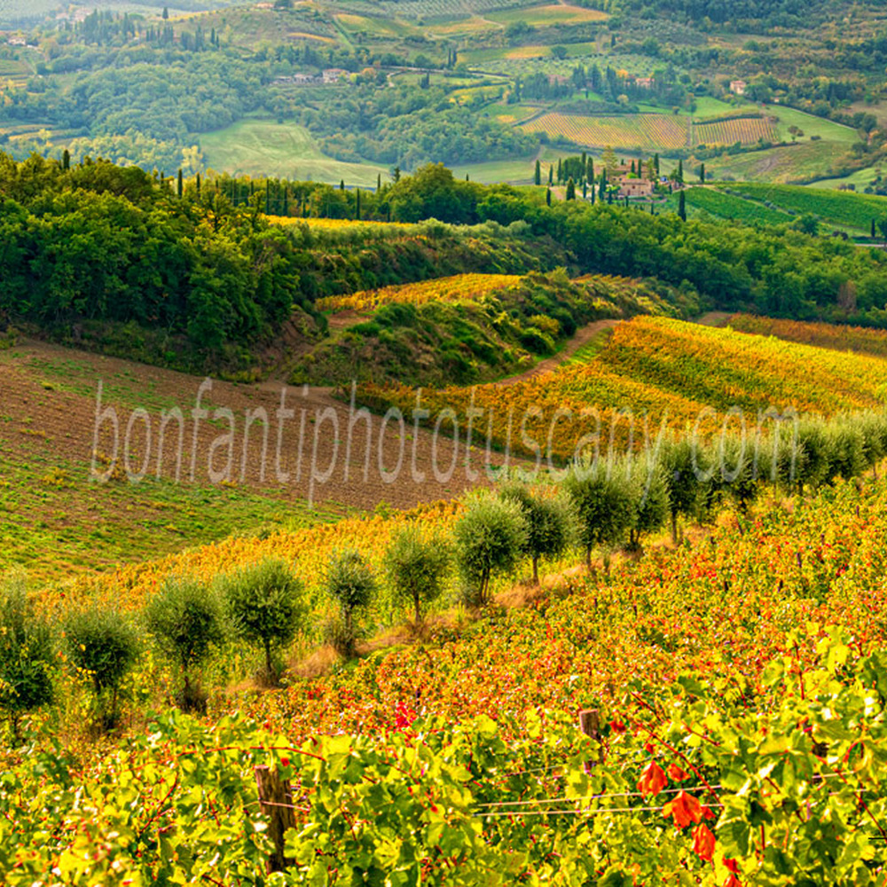 chianti landscape - vineyards and olive trees in volpaia.jpg