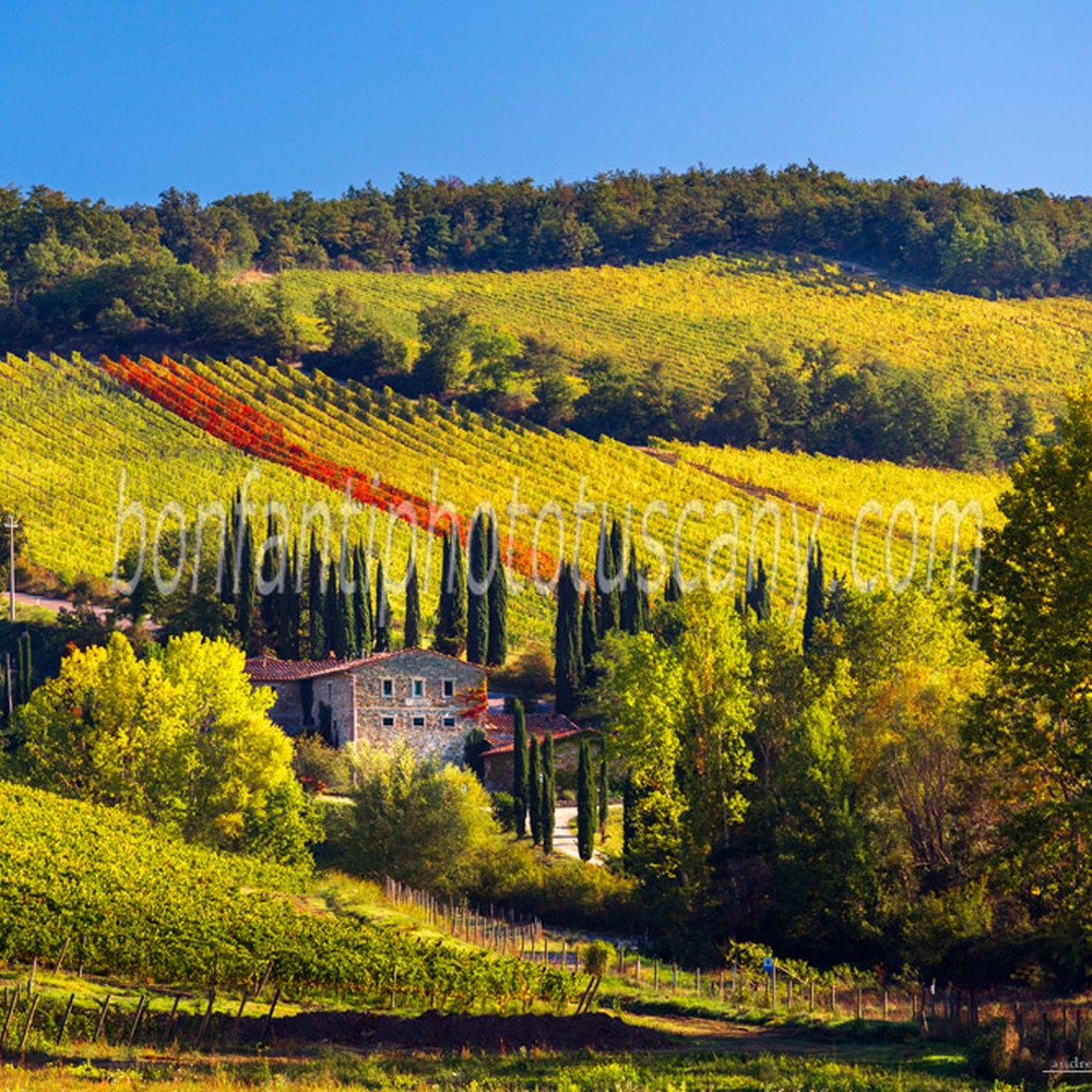 chianti landscape - vines and cypress trees in albola #3.jpg