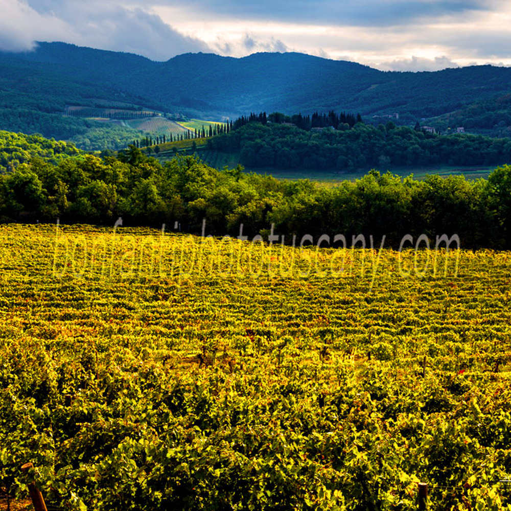 chianti landscape - vineyards between albola and volpaia.jpg